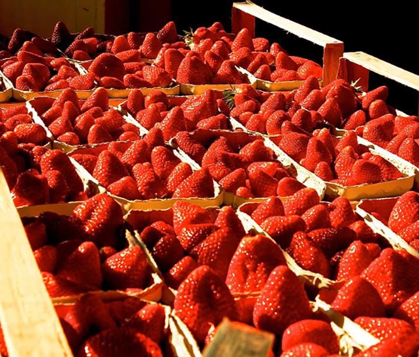 erdbeerenernte-857×731